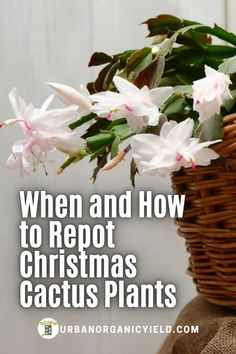 How to repot a flowering cactus called a Christmas Cactus (sometimes known as Easter Cactus or Thanksgiving Cactus or Holiday Cactus) and scientific name is schlumbergera cacti. The methods… More