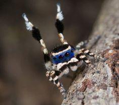 Altre specie di ragni pavone nelle foto di Jurgen Otto - Focus.it