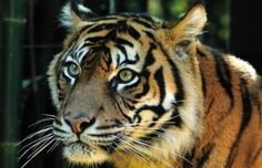 Today, there are fewer than 400 Sumatran tigers left in the wild thanks to deforestation and big industry. Tiger Face, Tiger Cub, Drone Photography, Light Photography, Javan Tiger, Tiger Habitat, Rubber Industry, Cats 101, Double Exposure