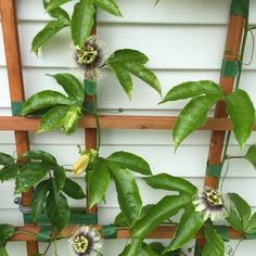 flower production of passionfruit