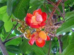 Resultado de imagem para abrico de macaco fruto