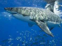 http://sharkfacts.hubpages.com/hub/The--Biggest-Great-White-Shark-Ever-Found