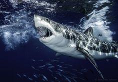 powerful argument. большая белая акула, о. Гвадалупе, Мексика Автор: Александр Сафонов