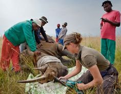 Rhino Horns More Expensive Than Gold