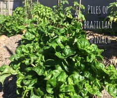 Brazilian Spinach is easy to grow in sub-tropical Queensland and makes a great alternative to baby English Spinach in green smoothies. Green, Herbs, Garden, Growing, Urban Garden
