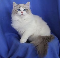 Rockcreek Daisy Doll Blue lynx bicolor Ragdoll kitten