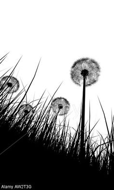 black and white illustration silhouette of grass and dandelions flowers © Andres Rodriguez / Alamy