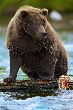 """Bear's In Anchorage"" by Buck Shreck on 500px ~ The photographer stated that bears of all kinds have been an interest of his for as long as he can remember, and he thinks that he has one of the largest privately owned collection of images of bears that he knows of (150,000).  This image is from the Ship Creek area of Anchorage, Alaska.  There is a very large thriving population of Brown bears that live among the human population right in Anchorage city limits."