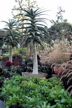Tree aloes, with aeoniums and fountain grass Succulent Gardening, Cacti And Succulents, Planting Succulents, Cactus Plants, Planting Flowers, Garden Bugs, Garden Plants, Tropical Garden, Tropical Plants