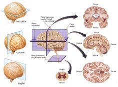 Planos e eixos   Neurocientífico