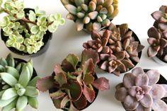 DIY Succulents: Tabletop Arrangement for Under $20