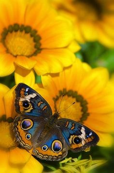 Buckeye Butterfly In All Its Beauty atop the sunflower