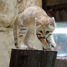 Big Cats, Cute Cats, Felis Margarita, Animal Pictures, Cool Pictures, Sand Cat, Rare Animals, Cute Fox, Drawing Challenge