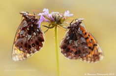 Butterfly by RuiSoaresdaSilva. @go4fotos
