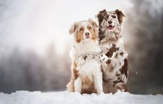 💕❄️🐾 Smart and #Playful, #Aussie #Puppies are #Adorable and loyal buddies! #AustralianShepherd #Pups are full of lively energy and sure to brighten you day with their excitement and win your heart with their #Loyal and loving personality. ▬▬▬▬▬▬▬▬▬▬▬▬▬▬▬▬▬▬▬ #Charming #PinterestPuppies #PuppiesOfPinterest #Pup #Funloving #Sweet #PuppyLove #Cute #Cuddly #ForTheLoveOfADog #MansBestFriend #Dog #Pet #Pets #ChildrenFriendly #PuppyandChildren #ChildandPuppy #LancasterPuppies… Merle Australian Shepherd, Lancaster Puppies, Puppies For Sale, Aussie Puppies, Blue Merle, Mans Best Friend, Puppy Love, Cute Dogs, Cute Animals