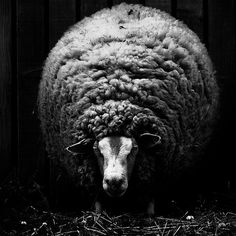 by  Isa Marcelli / sheep / wool / color inspiration / black and white / monochromatic / texture / nature / photography art /
