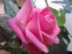Сахарная роза от Елены Уилкинсон  (Wilkinson cakes) - YouTube