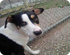 Houston, TX - Greater Swiss Mountain Dog Mix. Meet MISTER, a dog for adoption. http://www.adoptapet.com/pet/11300497-houston-texas-greater-swiss-mountain-dog-mix