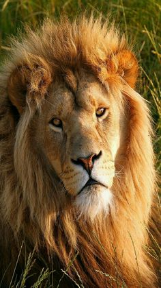 Lion - Doesn't get more regal than this big cat!