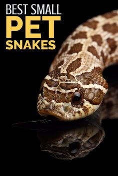 Looking for the best small pet snakes? The species outlined in this article all achieve a reasonable size - perfect for reptile keepers with limited space. Most are also ideal for beginners, making them ideal pet snakes for enthusiasts of all experience levels.