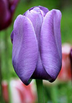 Bleu Aimable tulip, 1916 oldhousegardens.com