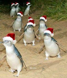 Penguin with santa hats