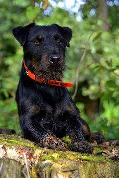 Terrier Breeds, Terriers, Dog Breeds, Pet Dogs, Dogs And Puppies, Dog Cat, Mans Best Friend, Best Friends, Bull Riding