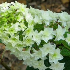 Gatsby's Star™ is one of the first-ever oakleaf hydrangeas from Proven Winners! This showy version of our native oakleaf has double flowers on huge panicles, enormous foliage, and breathtaking fall color: http://emfl.us/3mFd