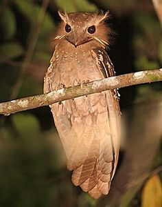 Sumatra is, without question, one of our best tours for nightbirding. The fantastic Large Frogmouth is one of several nocturnal denizens that we target (János Oláh)