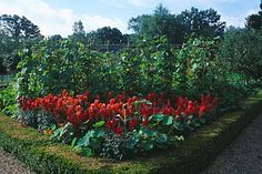 RED_ANTIRHINUMS_AND_RUNNER_BEANS_BESIDE_BOX_HEDGING_IN_THE_THE_WALLED_VEGETABLE_GARDEN_AT_WEST_GREEN