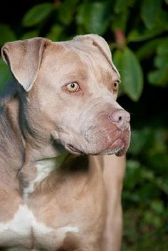 Missletoe is one beautiful dog . she is mellow ,loves attention ,and a very willing learner .