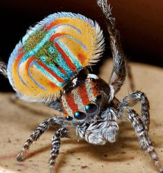 Peacock Spider--It is a species of jumping spider. The red, blue and black colored males have flap-like extensions of the abdomen with white hairs that can be folded down. They are used for display during mating: the male raises his abdomen, then expands and raises the flaps so that the abdomen forms a white-fringed, circular field of color.