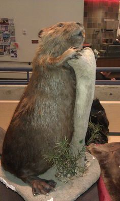 This is a Beaver  who dug up a Femur   and who now is a  'leg ahead'.