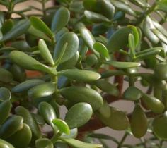 Jade Plant - How to care for your Jade Plant at http://lawnpatiobarn.wordpress.com/2010/02/03/jade-plant/