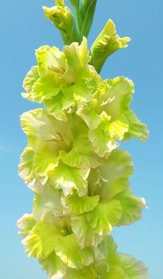 Gladiolus 'Sassy Sue' (Gladiolus x hortulanus)