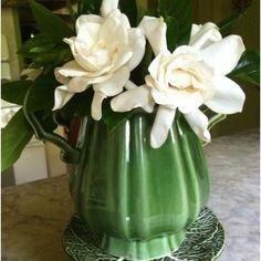 Fresh picked gardenias from my yard in a vase in our kitchen. Pure Heaven! markballard