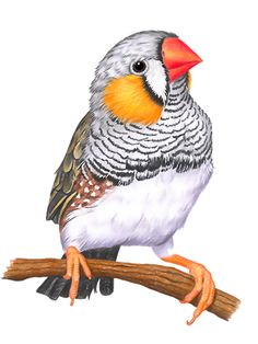 Zebrafinken The Effective Pictures We Offer You About Birds Drawing outline A quality picture can te Bird Drawings, Animal Drawings, Drawing Birds, Pretty Birds, Beautiful Birds, Beautiful Pictures, Bird Artwork, Color Pencil Art, Animal Sketches