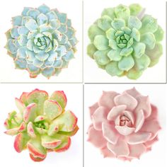SALE Succulent Print Set, Babyshower, Garden Decor, Dorm Decor, Pink Echeveria, Southwest, Wall Art, Nursery Art, Nursery Decor, 4 Prints
