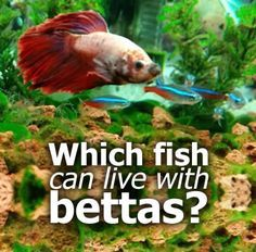 Which fish can live with bettas? Betta fish can be very territorial - they don't get called fighting fish for nothing! But knowing a few simple facts you will be able to have you betta co-existing with other fish peacefully. #aquarium
