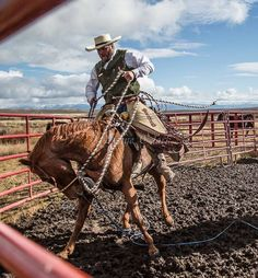 """Cowboy Photographer on Instagram: """"Wes Albretcht was helping vaccinate fall calves when his horse had a spell. It all worked out without a wreck. . . ."""" Skye Clark Images Cowboy Horse, Cowboy And Cowgirl, Bucking Bulls, American Paint Horse, Cowboy Pictures, Charro, Ranch Life, Livestock, Rodeo"""