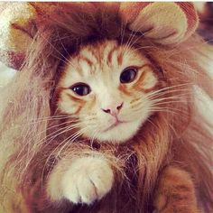 My cat will be getting a lion's mane forsure