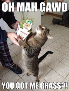 """Oh mah gawd………I USED TO GET THIS GRASS """"THING"""" FOR MY KITTY……THE GRASS LASTED ALL OF TWO EATINGS………….ccp"""