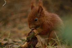 Sobieszewski wiewiór