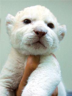 White baby lion