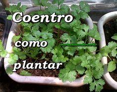 Dica de como plantar Coentro em vaso ou jardineira, plante também esta delicia