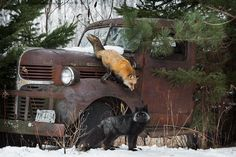 """Abandoned"" - Red Fox (Vulpes vulpes) and Silver Fox and Old Truck - captive animals Holly Kuchera - photo taken Say More, Big Dogs, Cat Memes, Sayings, Words, Animals, Red Fox, Photos, Abandoned"