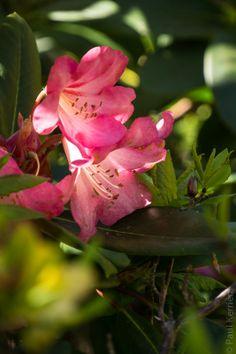 Bretagne.  Finistère - Rhododendrons et azalées à Boutiguéry.