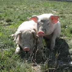 How to Stay Safe around Farm Animals - InfoBarrel This Little Piggy, Little Pigs, Pig Pics, Barnyard Animals, Baby Pigs, Flying Pig, American Literature, Down On The Farm, Farms Living
