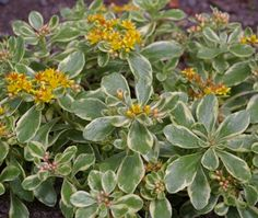 Sedum kamtschaticum 'Variegatum' is a clump-forming sedum with glossy pink tinted leaves with creamy margins. The star shaped yellow flowers emerge out of pink buds from summer to autumn, then fade to orange-red. A Great Plant Picks selection. Summer to autumn.  4 in. x 10 in.  Yellow flowers  Sun     Zones 4, 5, 6, 7, 8, 9