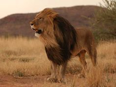 Would love to see lions in the wild - as long as I am fully enclosed.